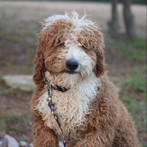 AKC mini poodle