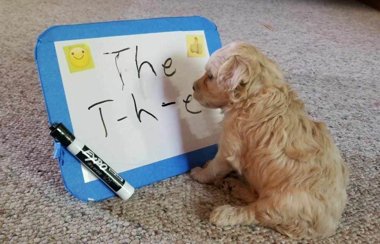 goldendoodle in front of whiteboard