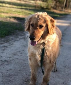 Akc registered golden retriever